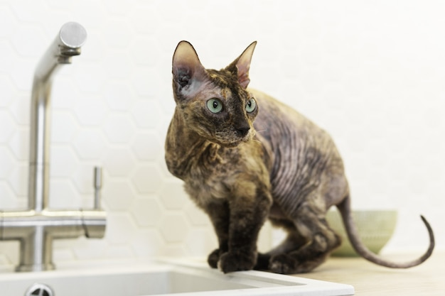 Cute don sphynx cat sitting beside a sink in the kitchen