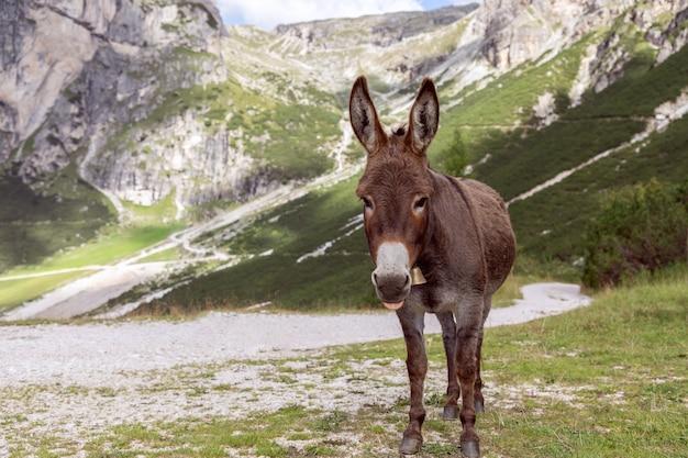 Cute donkey in the italian alps. italian dolomites. trentino alto adige