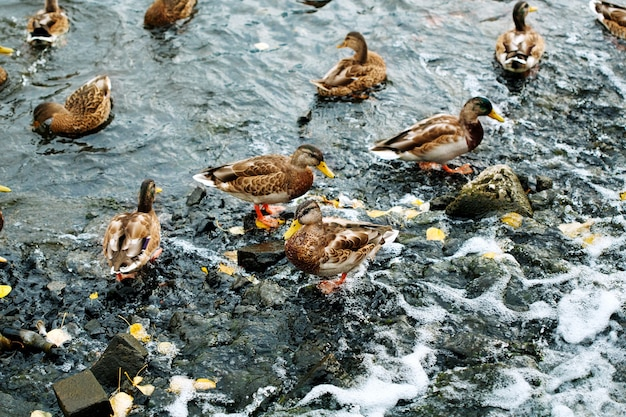 Cute ducks on a city pond or lake birds on the water