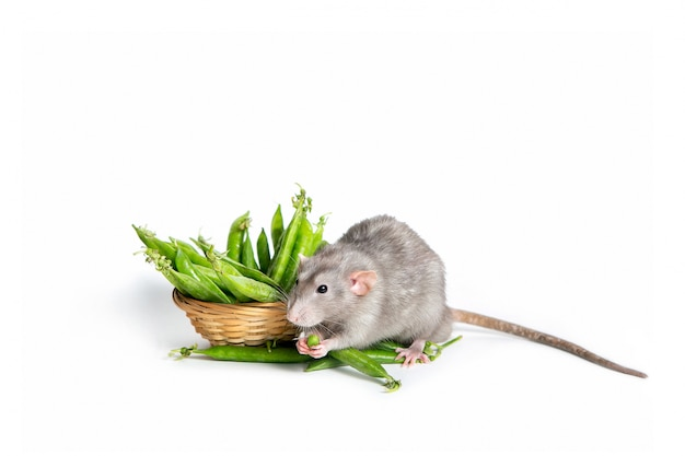 A cute dumbo rat on white eating green peas.