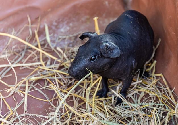 Cute dwarf hippo