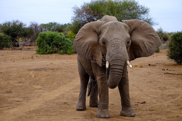 Elefante sveglio in piedi sul terreno sabbioso in una zona deserta