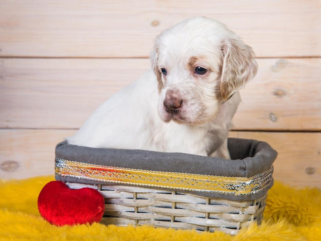 Cute english setter puppy dog in a wood basket with red plush heart toy.