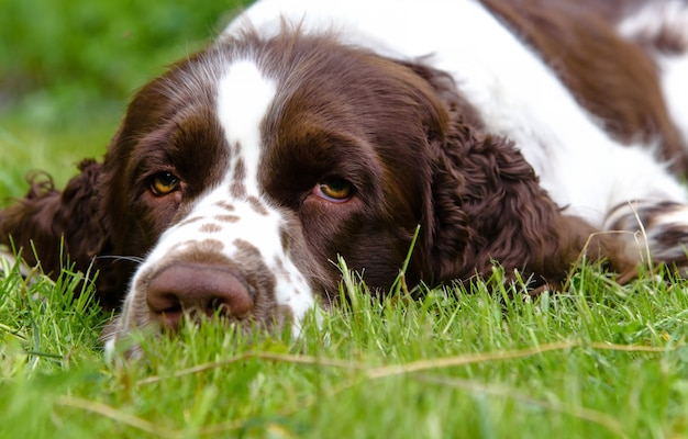 Cute english springer spaniel lying on the the green grass in summer nature