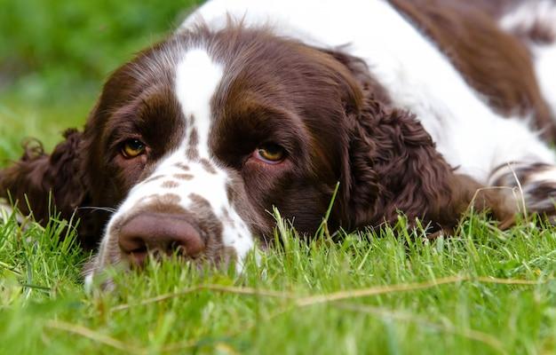 여름 자연의 푸른 잔디에 누워 귀여운 영어 스프링거 발 바리