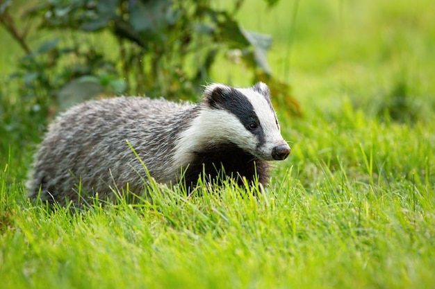 Cute european badger looking with small black eyes on a green grass in spring