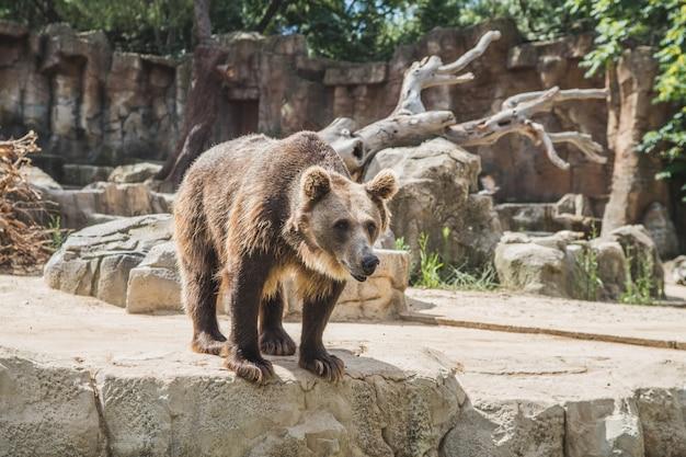 Cute european bear on a stones waiting for food