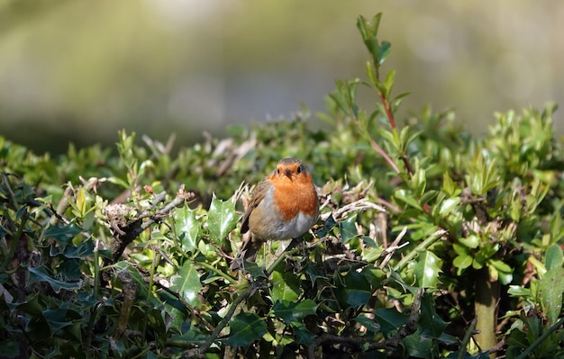 Cute european robin redbreast standing on a branch in a thicket with leaves, looking ahead
