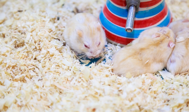 Cute exotic red-eyed lilac dwarf campbell hamster eating pet food