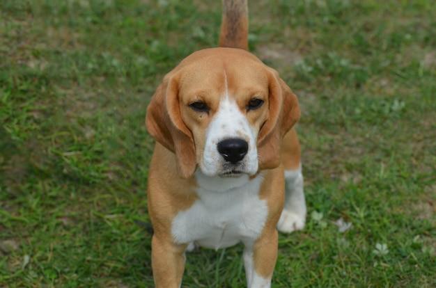 草の中に座っているビーグル犬のかわいい顔。