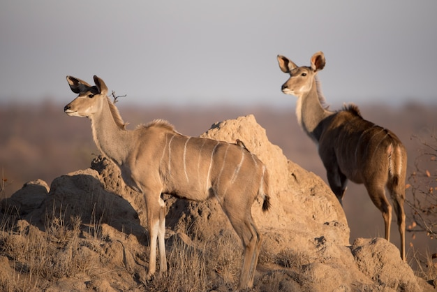 Симпатичные женские куду возле скалы