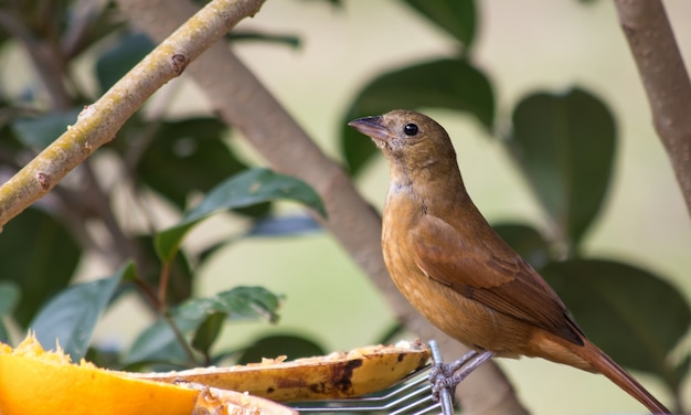 Cute female ruby-crowned tanager standing on a cooling rack with fruits on it in a garden