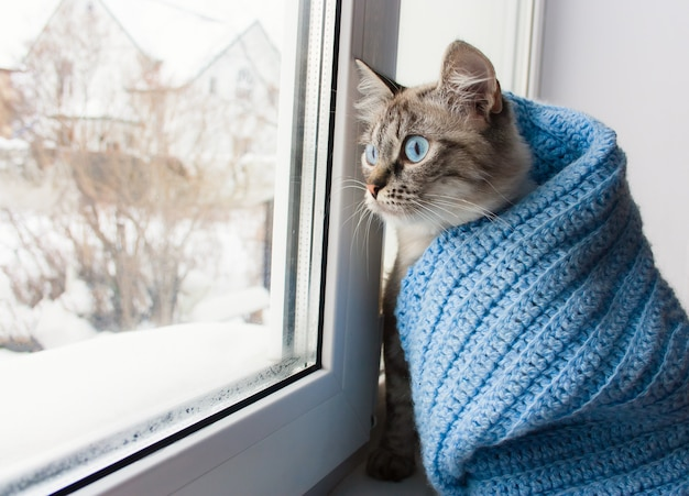 Cute flaffy cat with blue eyes covered in knitted blue scarf and sitting on a window sill