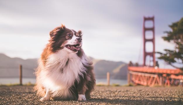Cucciolo di pastore australiano lanuginoso sveglio con il golden gate bridge