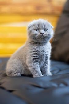 Милый пушистый британский котенок. серый британец с голубыми глазами. животное