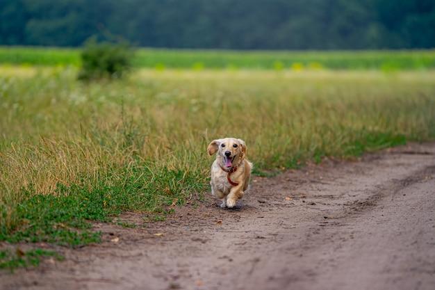 Милая пушистая собака работает на открытом воздухе. счастливая прогулка собаки. собака играет в поле. мелкие породы.