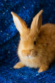 Cute fluffy ginger bunny on blue soft background