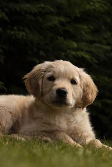 Милый пушистый золотистый ретривер сидит на траве в парке