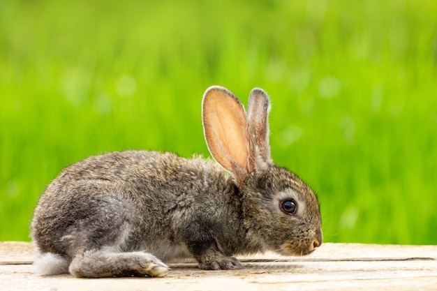 Cute fluffy gray rabbit with long ears