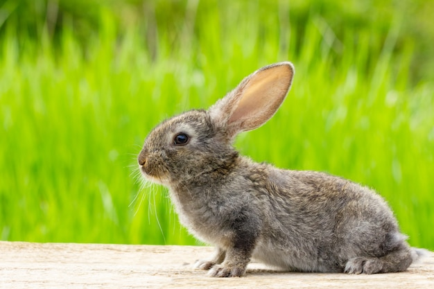 Cute fluffy grey rabbit with ears on a natural green