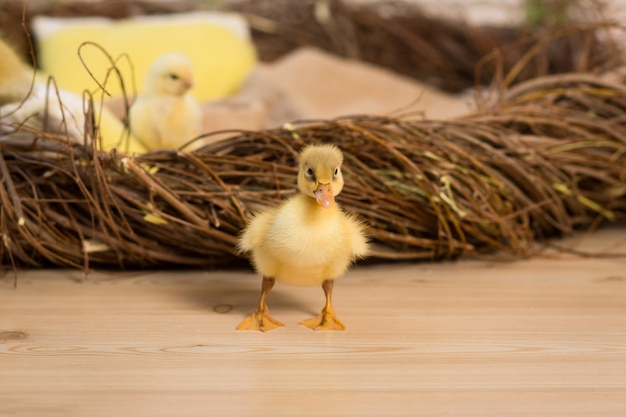 かわいいふわふわの小さなイースターアヒルの子と鶏が巣の近くを歩いています。