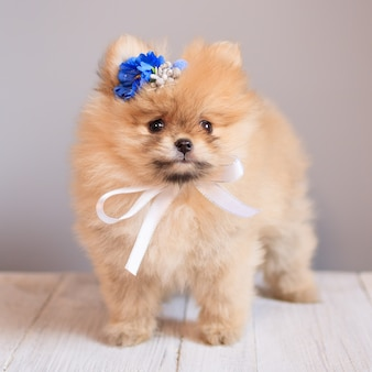 かわいいふわふわポメラニアン子犬犬