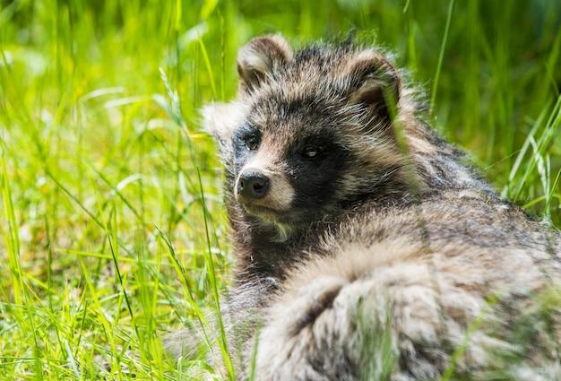 Cute fluffy raccoon dog sitting in the green grass