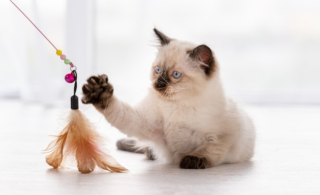 Cute fluffy ragdoll kitten witn beautiful blue eyes lying on the floor and playing with feathers toy hold by owner. beautiful little purebred domestic cat indoors in white room