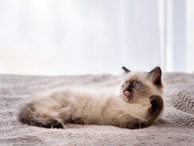 かわいいふわふわのラグドールの子猫は、ベッドに横たわってその足を持ち上げている美しい青い目を目撃しました。家で休んでいるアメリカの品種の猫の子猫の肖像画。屋内の小さな純血種の飼い猫
