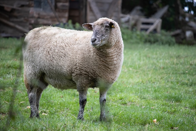 Cute fluffy sheep running in a field
