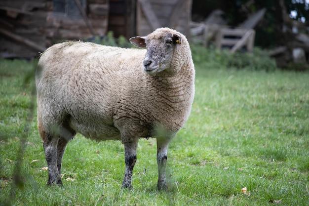 野原を走るふわふわのかわいい羊