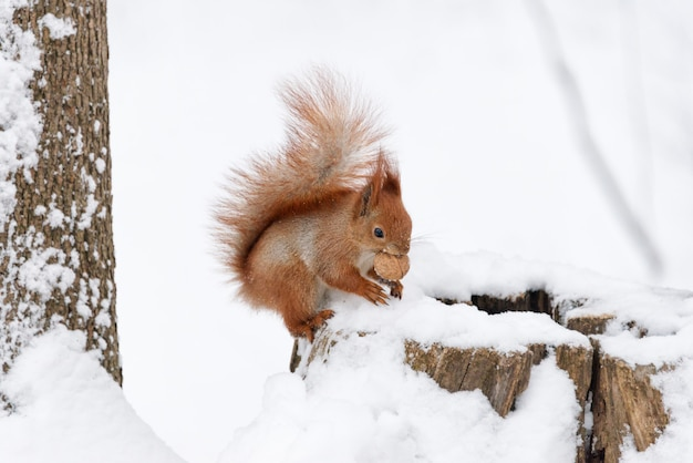 Милая пушистая белка ест орехи на белом снегу в зимнем лесу