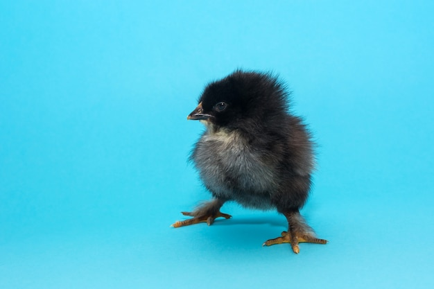 Cute, fluffy thoroughbred chicken with a small beak on a blue background