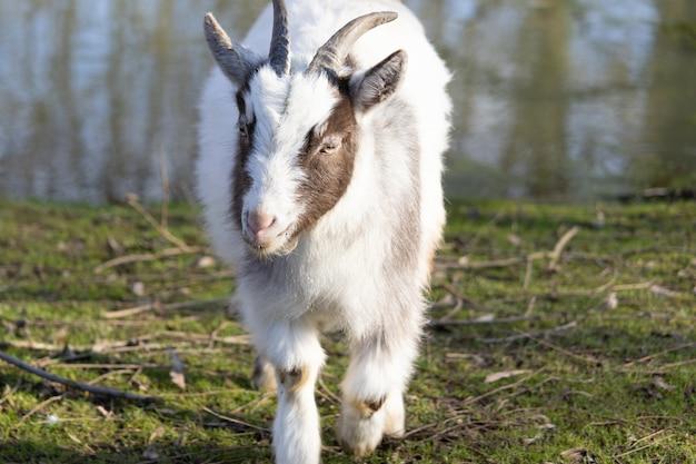 カメラに向かって歩いているかわいいふわふわの白と茶色のヤギ