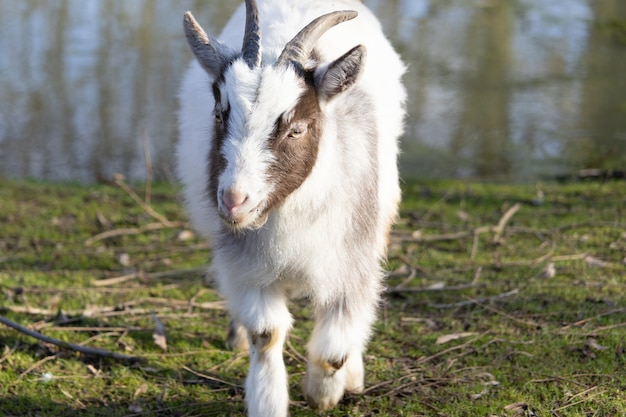Cute fluffy white and brown goat walking towards the camera