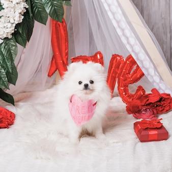 무료 키스 종이 마음으로 귀여운 푹신한 흰색 강아지 포메라니안. 행복한 발렌타인 데이. 세인트 발렌타인 데이 개념.