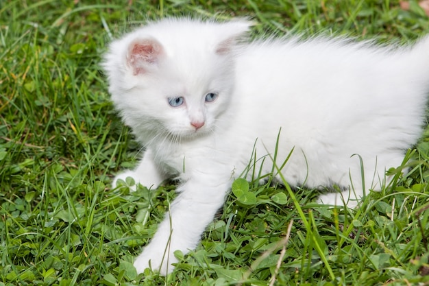 Cute fluffy white kitten playing on grass.