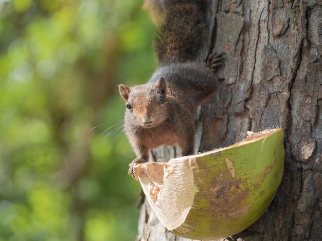 村人の食べ物を食べるために、かわいい森のリスが木から降りてきました。