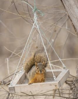 Cute fox squirrel swinging in a feeding box