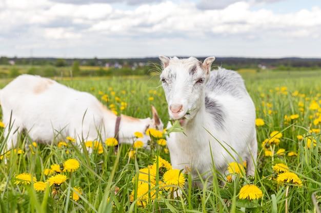 초원 배경에서 자유롭게 풀을 뜯는 유기농 자연 환경 동물 농장의 귀여운 무료 염소 새끼. 목장에서 씹는 국내 염소 방목. 현대 동물 가축, 생태 농업. 동물의 권리.