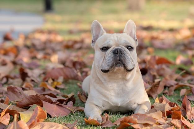 Cute french bulldog lying on fall leaves