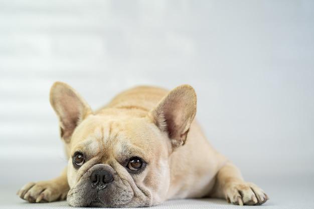 Cute french bulldog lying on the floor.