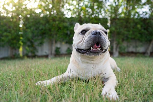 Cute french bulldog lying at garden in morning.