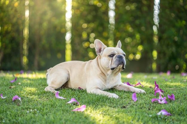 Cute french bulldog lying on grass under bauhinia purpurea tree in the garden.