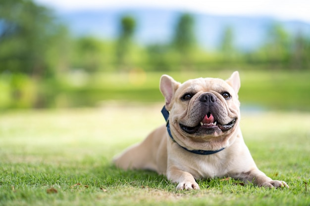 Cute french bulldog lying on grass in park