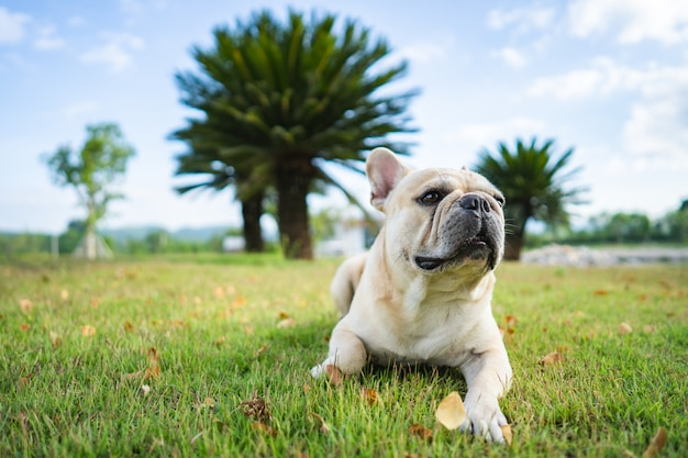 Милый французский бульдог, лежащий на поле