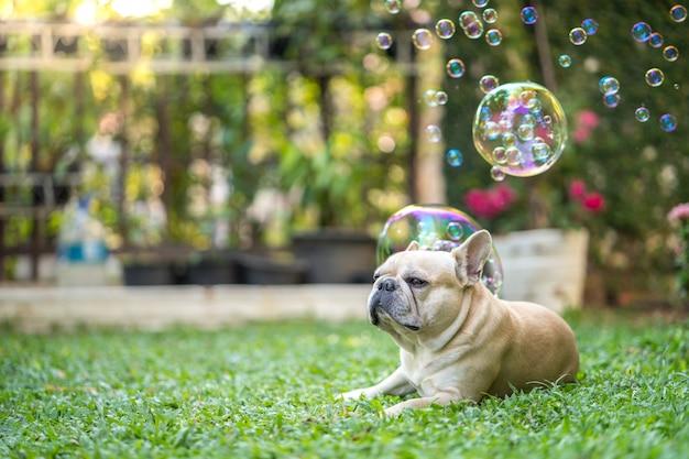 Милый французский бульдог, лежащий на траве против плавающих мыльных пузырей