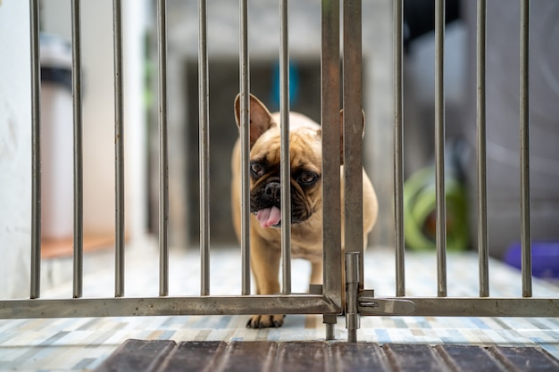 Cute french bulldog standing behind the metal fence