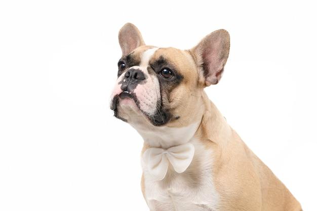 かわいいフレンチブルドッグは、白い背景、ペット動物の概念で隔離の蝶ネクタイを着用します。