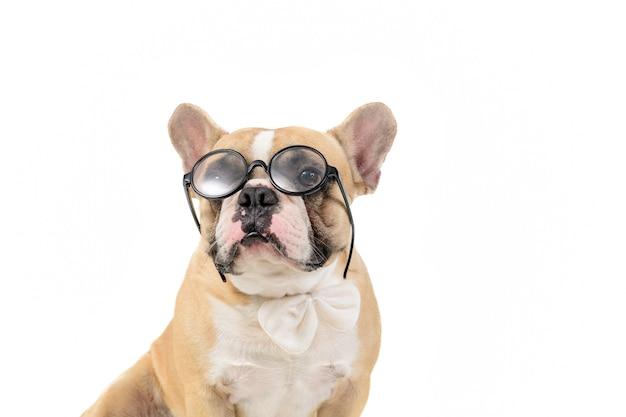 かわいいフレンチブルドッグは眼鏡と白い蝶ネクタイを着用します